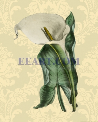 Calla with background